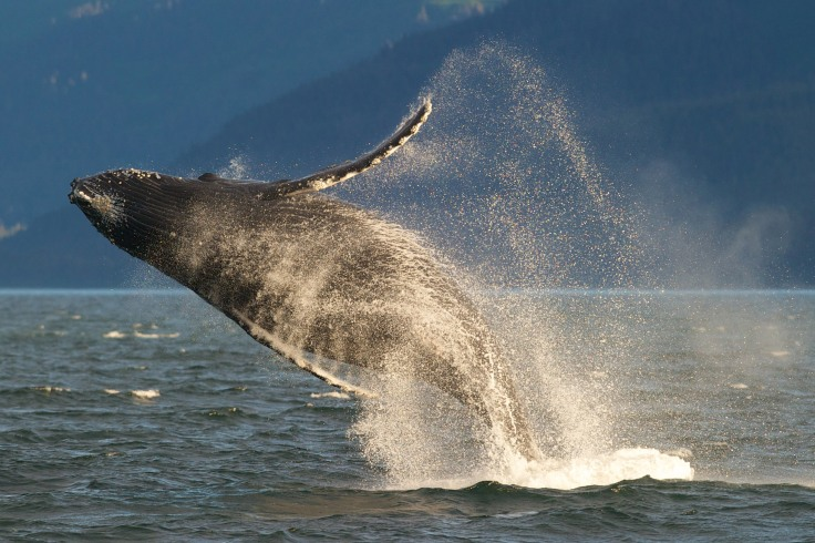 AP_604777336574-Alaska-whale-breaching